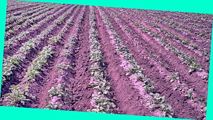 Посадка картофеля на грядках