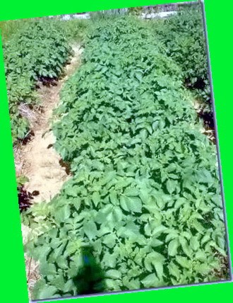 картофель повинь описание сорта фото