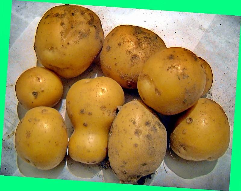 Сорт картофеля гибрид