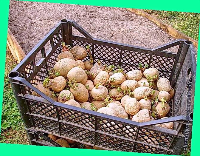 картофель слоем соломы или